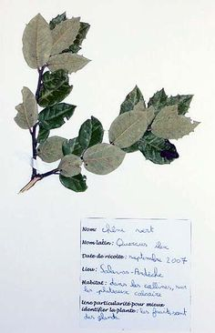 Herbier 6eme 2 herbier pinterest tags et universit s - Exemple d herbier original ...