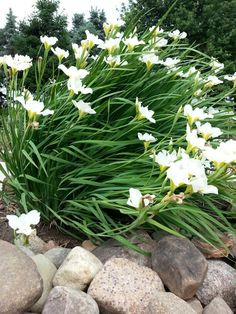 Japanese Iris...very hardy
