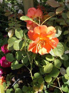 Lady Ash Apricot Salmon Rose 1 Gal Live Bush Plants Climbing Plant Fine Roses