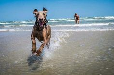 I love taking my dog to the beach, she always runs around in the water with us :) Re-pin: I need to get action shots of my dog. Cool pic.