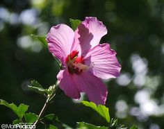 Rosa japonesa