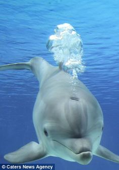 Chase: The dolphins create vortex rings then bite them so they burst into individual bubbles