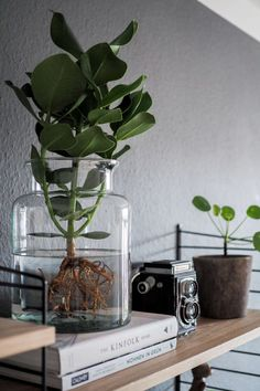 Water Plants, the easy-care indoor plant. Everything about the new trend, how . - - Water Plants, the easy-care indoor plant. All about the new trend of how to keep a plant in the glass and where to buy Water Plants online! Water Plants Indoor, Easy Care Indoor Plants, Aquatic Plants, Indoor Garden, Easy Garden, Garden Ideas, Plant In Water, Indoor Trees, Hydroponic Plants