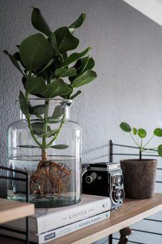 Xerosicyos Danguyi Rare Silver dollar vine succulent plant