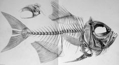 Scientific Illustration | Beryx decadactylus - fishbase page From '