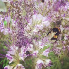 berlinerstadthonig | 2015 Hummel / Bumblebee