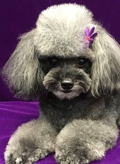 Cooper at Grande Style Pet Dog Grooming In Tampa Grooming Salon, Pet Grooming, Poodle Hairstyles, Pet Dogs, Pets, Small Dogs, Teddy Bear, Animals, Little Dogs