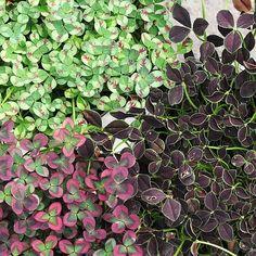 Trifolium repens cultivars - Clover