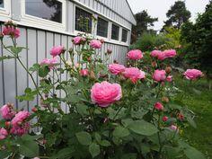 Slik forbereder jeg remonterende roser for ferien Rose, Plants, Pink, Plant, Roses, Planets