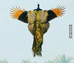 A rare image of a peacock flying..