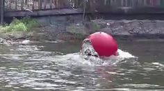 An alligator in a Florida theme park repeatedly strikes at a red ball placed in its pond.