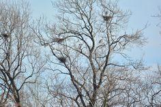 Blue herons in their nests.