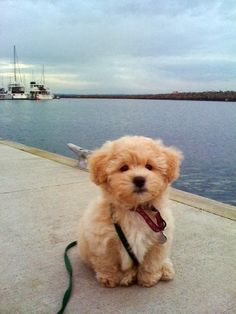 "Precious! ""It's called the ""teddy bear dog"". Half shih-tzu and half bichon frise. 
