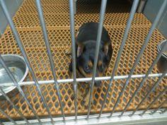 Meet 105 Casey a Petfinder adoptable Miniature Pinscher Dog | Largo, FL | 4 yrs old and a bit overweight....Ewe not fat, ewe fluffy!!