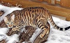 Toyger - The name 'Toyger' comes from the the words Toy and Tiger.  The Toyger was founded by Judy Sugden of EEYAAS Cattery in the USA. The Toyger is the result of a cross between a striped Domestic Short Hair and a Standard Bengal Tabby This resulted in a striped Cat which after many years of hard work resembles a 'mini Tiger'.