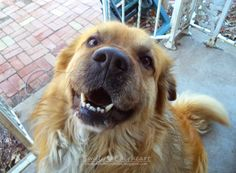"Rocky says ""I love you so much!!"" #Adorable #Cute #Dog #Photography #German #Shepard #Golden #Retriever"