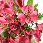 Nice Raspberry Alstroemeria Close150 00905767
