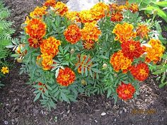 ryhmäsamettikukka - Tagetes patula Marigold, Summer Flowers, Vegetable Garden, Beautiful Gardens, Pergola, Google, Red, Small Gardens, Garden