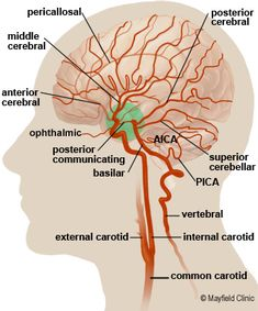 Brain Anatomy, Anatomy of the Human Brain Arteries Anatomy, Brain Anatomy, Human Anatomy And Physiology, Internal Carotid Artery, Vertebral Artery, Cerebrospinal Fluid, Cranial Nerves, Brain Science, Body Systems