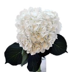 FiftyFlowers.com - Giant Pure White Hydrangea Flowers - Bulk Flowers - DIY Wedding Flowers at Wholesale Prices!