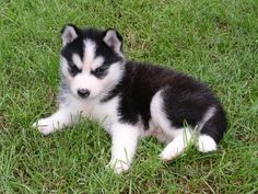 Miniature Siberian husky. The miniature Siberian huskies are smaller in size as compared to the standard Siberian huskies, and Pomsky.