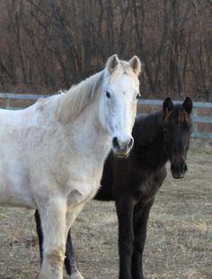 Lisa's horses Grey Horse and Guardian