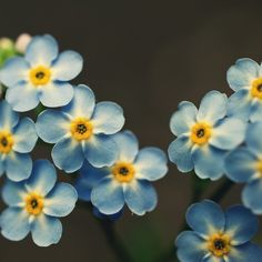 The gunmetal background color balances the blue and yellow of the forget-me-not. Could be a lovely combo for a home office.