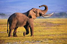 Elephants. Elegant. Wise. Absolutely beautiful!  My favorite animal, and I can't wait to visit Africa (or maybe a nearby zoo) so I can finally see one!
