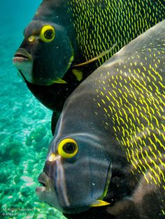 French Angelfishes  ;)