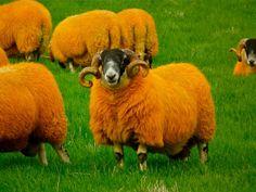 The Orange Sheep of Glen Quaich | Flickr - Photo Sharing!