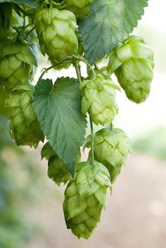 Purveyor of fine hops, hop rhizomes, hop oil and other hop growing accessories.