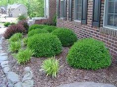 green velvet boxwood | Green Velvet Boxwood