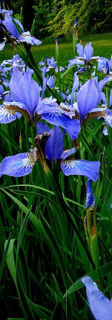 Blue Water Iris by a pond ~ I so want a pond again