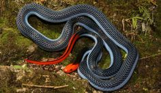 The Venom From This Snake Will Make Your Life a Living Hell - The menacingly beautiful blue coral snake preys on other fast moving, venomous snakes. To immobilize its prey, this reptile employs a particularly nasty venom—one that makes the last moments of the victim's life a living hell.