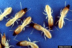 Let's face it: discovering that you have termites can be a distressing experience indeed. However, there are a variety of effective ways to prevent and treat termite infestations. When it comes to treating low scale infestations, for Termite Damage, Termite Control, Types Of Termites, Termite Inspection, Bees And Wasps, Pest Management, Pest Control Services, Insects