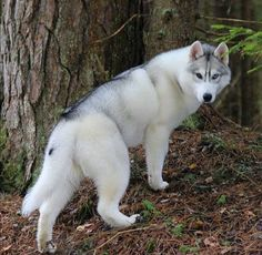 ***What A Beautiful Husky***Shadow wolf Wolf Husky, Siberian Husky Puppies, Husky Puppy, Siberian Huskies, White Siberian Husky, Cute Puppies, Cute Dogs, Dogs And Puppies, Corgi Puppies