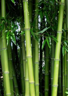 Bamboo Seeds Phyllostachys Pubescens Rare Giant Bamboo Seeds Bambusa Lako Tree Seeds For Home Garden Plant