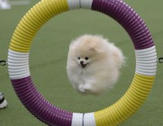 "Cute pics! Vampire Pomerian... - Monique Delatte [""A Pomeranian soars through a ring and on to the next obstacle.""]"