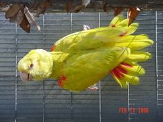 (Yellow color mutation) Double Yellow Head Amazon