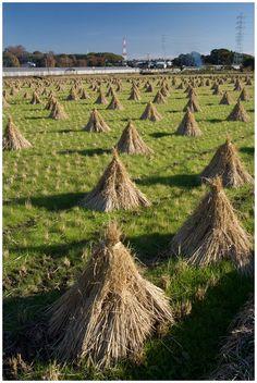 Harvested field of rice, Yokohama, Japan Copyright: Yuo Japan