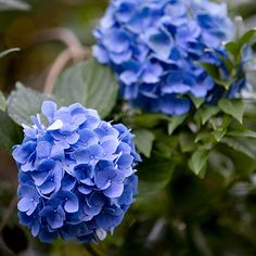 Who doesn't love a beautiful hydrangea? More of our favorite flowers here: http://www.bhg.com/gardening/flowers/perennials/flowers-for-wet-soil/?socsrc=bhgpin062614hydrangea&page=19