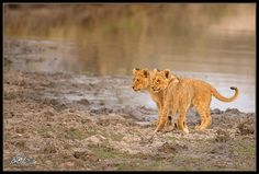 Two of the Mapogo lion cubs of the Sabi Sands at a water hole in the golden light of the sunrise. (Copyright Mitchell Krog - All Rights Reserved)