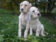 English setter pups. (Please can I have?)