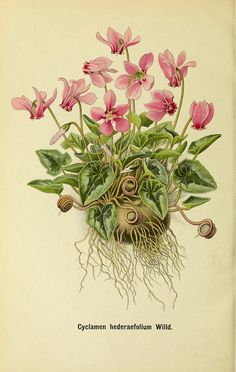 Ivy-leaved Cyclamen or Sowbread Cyclamen hederifolium (by BioDivLibrary)