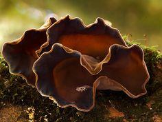 **Forest ears, photo: Steve Axford