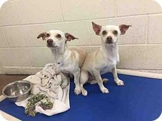 11/24/16 Dachshund Mix Dogs for adoption in Phoenix, Arizona - Bo Duke & Luke Duke. Bonded pair that need to be adopted together.