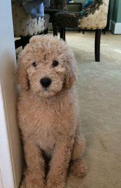 Daisy goldendoodle- round snout teddy bear cut