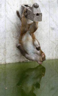 A monkey drinks from a pond in the temple Svayyambhu in Kathmandu. (Gopal Chitrakar / Reuters) :)