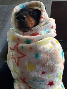All wrapped up in my favorite blankie. doxie