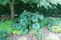 ligularia reniformis - Google Search Butterworth, Cabbage, Vegetables, Google Search, Cabbages, Vegetable Recipes, Brussels Sprouts, Veggies, Sprouts